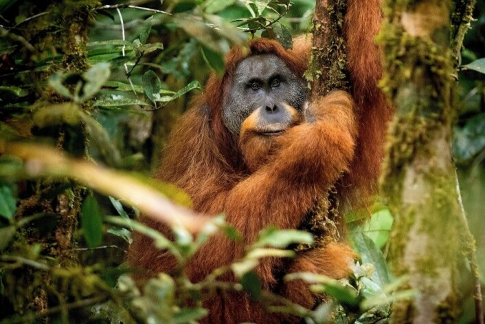 Tapanuli-orangutangen Togos tar seg en pust i treet. (Foto: Andrew Walmsley)