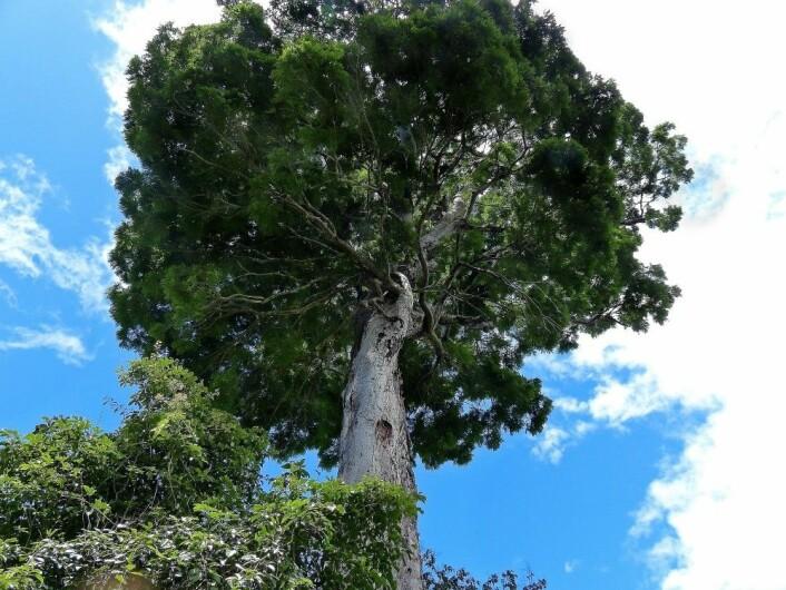 <em>Dinizia jueirana-facao</em> kan bli 40 meter høy. (Foto: Gwilym P. Lewis)