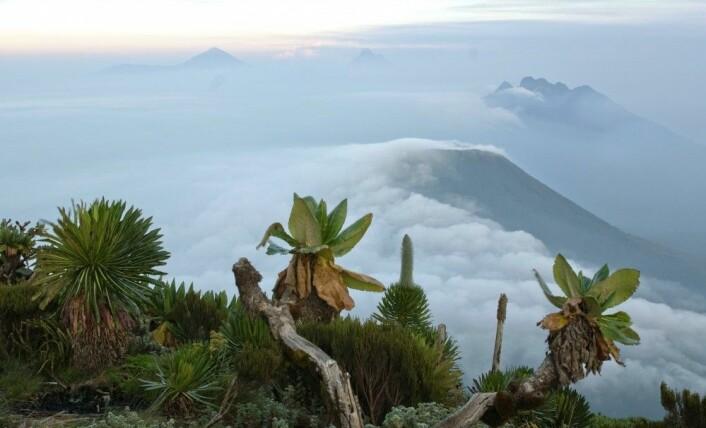 Skogen med kjempesvineblom (Dendrosenecio) 4300 meter over havet i Ruwenzori-fjellene likner lite på et norsk fjellandskap. Men hvis du ser nærmere etter, kan du kanskje finne smyle ved foten av svineblom-trærne. (Foto: Magnus Popp, NHM / UiO)