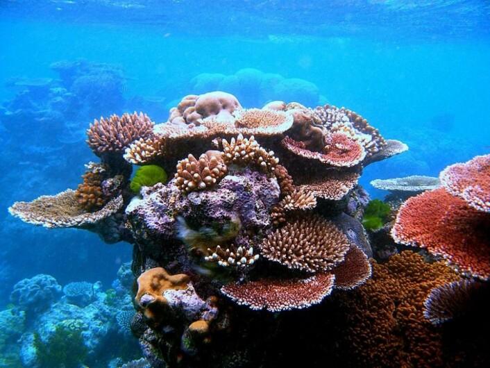 En samling koraller ved Great Barrier Reef. (Foto: Toby Hudson/CC BY-SA 3.0)