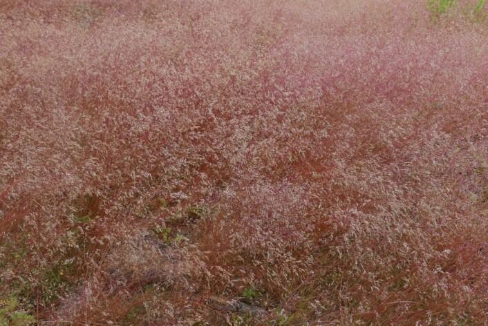 I Norge vokser smyle gjerne på hogstflater i lavlandet, men i Afrika er det en fjellplante. (Foto: Marte Holten Jørgensen, SNL)