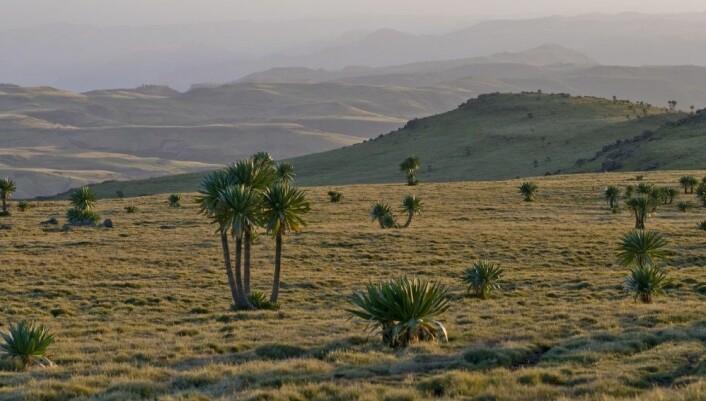 En gresslette i det etiopiske høylandet: Gressene kan likne på de norske, men kjempelobeliaene er typisk afrikanske. (Foto: Magnus Popp, NHM / UiO)
