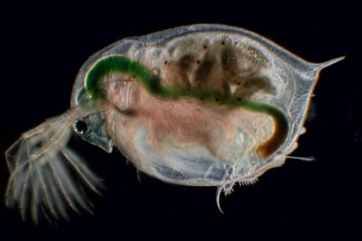 Denne vannloppa (Daphnia magna) er stor sammenlignet med andre vannlopper og er mindre utbredt i byene. (Foto: Joachim Mergeay)