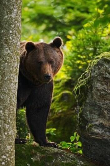 Bjørnen lusker bak et tre…. (Foto: Shutterstock / NTB Scanpix)