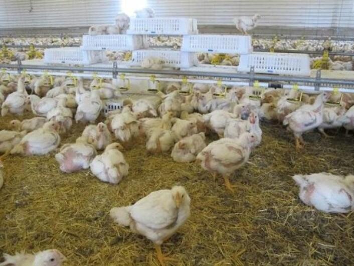 Her har kyllingene fått kasser som de kan klatre opp på, flakse ned fra eller hvile seg under.<br>(Foto: Tone Beate Hansen/Animalia)