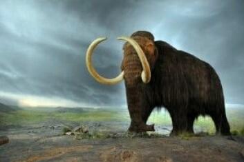 Elefantarter som den ullhårete mammuten levde over store deler av den nordlige halvkulen fram til for omkring 10 000 år siden. Nå lever elefanter bare i Afrika og Sørøst-Asia. (Foto: Pavel Masychev / Shutterstock / NTB scanpix)