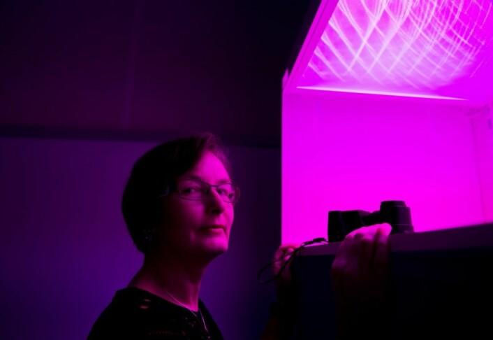 Forsker Hanne Larsen tester mat og emballasje i forskjellige lys. (Foto: Jon-Are Berg-Jacobsen)