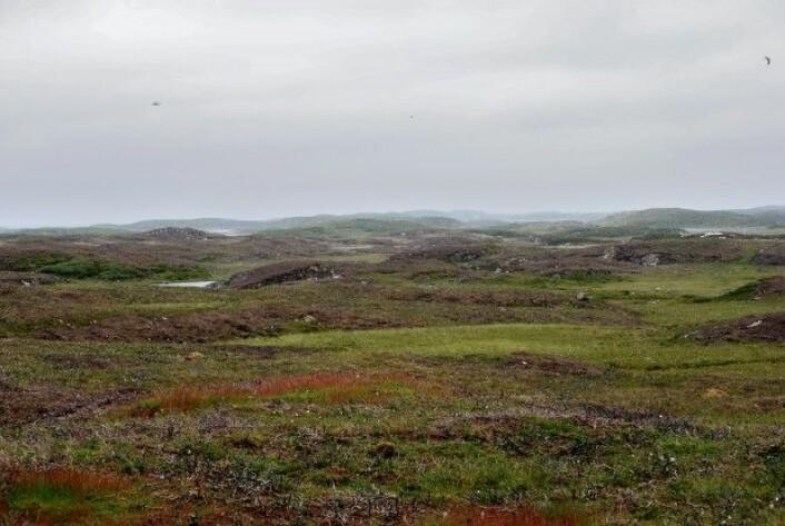 Slik ser godt skjøttet kystlynghei ut. Her fra Tarva i Bjugn kommune. (Foto: Pål Thorvaldsen)