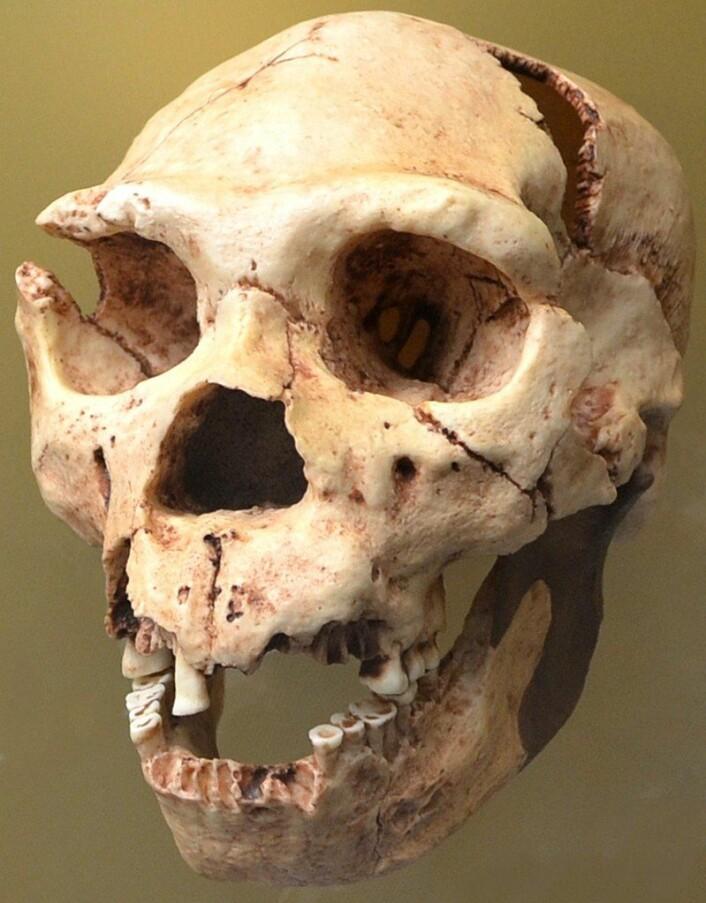 En Homo heidelbergensis-skalle. (Foto: Dorieo/CC BY-SA 3.0)