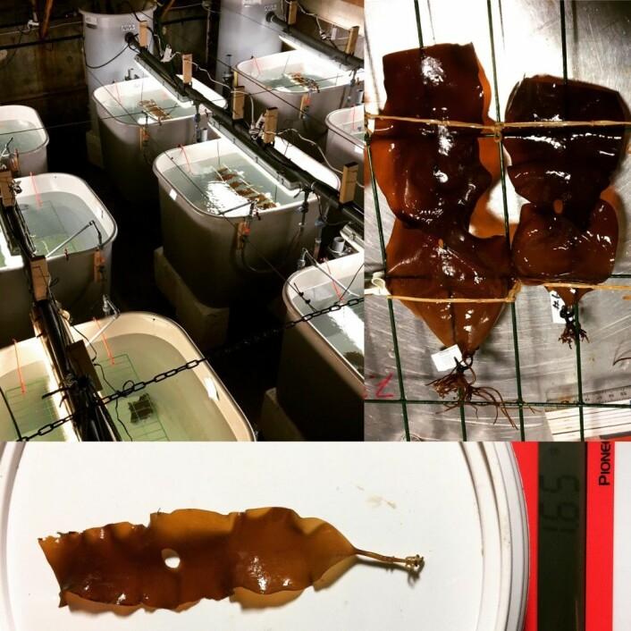 Forskere målte veksten av taren etter å ha utsatt dem for vann med ulik surhetsgrad og forskjellig lysnivå og lyskvalitet. (Foto: Kasper Hancke / NIVA)
