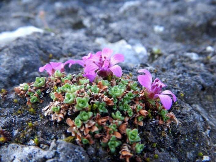 Rødsildre frå eit fjell i Nord-Noreg. (Foto: Siri Haugum)