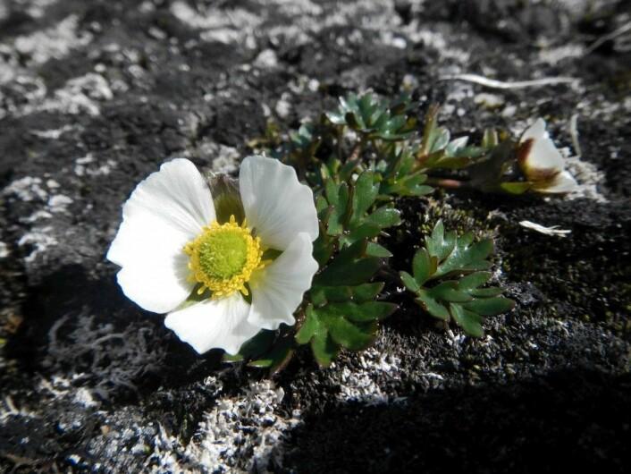 Issoleie er den arten som går høgst i Noreg i dag. Ho veks cirka 100 meter under toppen av Galdhøpiggen. (Foto: Sara Burg)