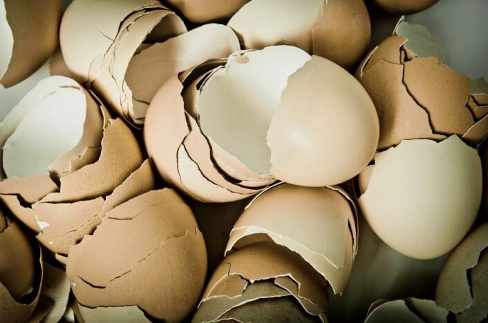 Skallet beskytter, men gir også næring til den voksende kyllingen. (Foto: Colourbox)