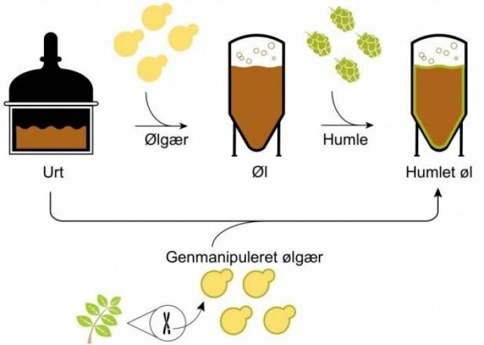 Med den genspleiset gjæren kan man hoppe over tilsetningen av aromahumle i bryggingen. (Illustrasjon: C. M. Denby et al./ Nature Communications)