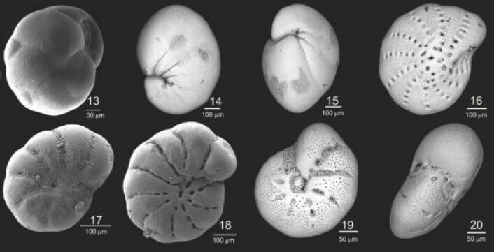 Den kjemiske sammensetningen av skallene til disse mikroorganismene kan gi indikasjoner på hvordan klimaet var da de levde i havet for tusenvis av år siden. På havbunnen ligger skallene lagvis i et historisk arkiv. (Foto: Chauhan, UiT)