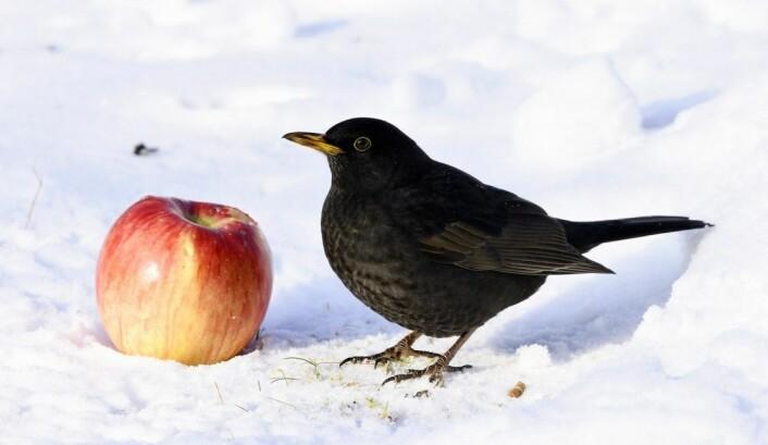 Svarttrosten liker både brød og epler, så legg gjerne ut dette, men pass på mengden. Rottene kan få snusen i det. (Foto: Bildagentur Zoonar GmbH / Shutterstock / NTB scanpix)