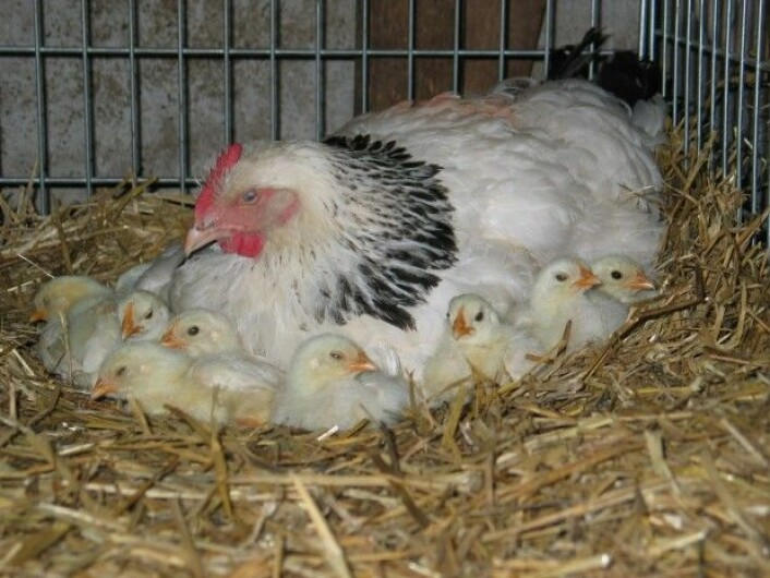 Biletet viser ei Lys Sussex-høne med daggamle kyllingar. (Foto: Norsk genressurssenter)