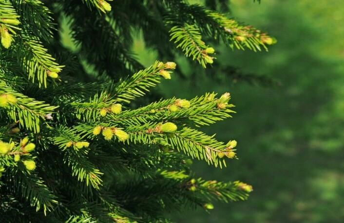 Grantrær lager også kallose, men bruker den trolig på en litt annen måte enn ospa. Unge graner er ikke avhengige av å gå igjennom en lang periode med frost før knoppene kan sprette. (Illustrasjonsfoto: ANGHI / Shutterstock / NTB scanpix)