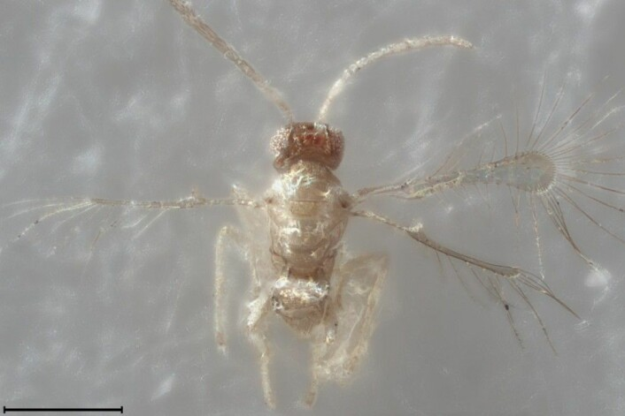 "Den bitte lille tingelingvepsen (Tinkerbella nana). Streken nede til venstre er 100 mikrometer lang, altså 0,1 millimeter. (Foto: Huber, Noyes og Read, <em>Journal of Hymenoptera Research</em>, Wikimedia Commons <a href=""https://creativecommons.org/licenses/by/3.0/deed.en"">CC BY 3.0</a>)"