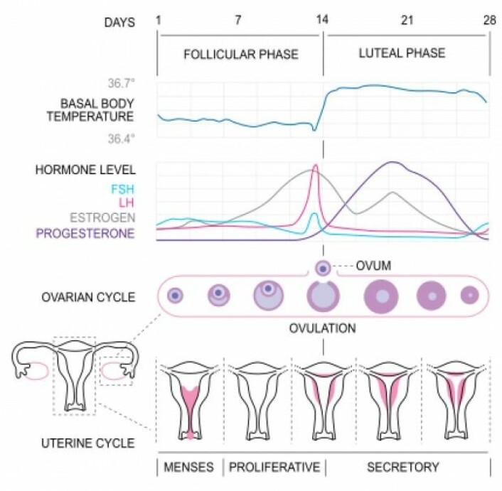 Hormonnivåene stiger og faller i løpet av en menstruasjonssyklus. Hormonet østrogen er på sitt høyeste like før eggløsning, mens hormonet progesteron stiger markant i lutealfasen. (Grafik Isometrik / Wikimedia Commons)