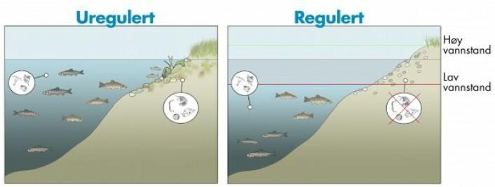 Endringer i vannstanden fører til erosjon, frysing og tørrlegging av strandsonen, som er et viktig leveområde for både dyr og planter. (Figur: Sigrid Skoglund/NINA)