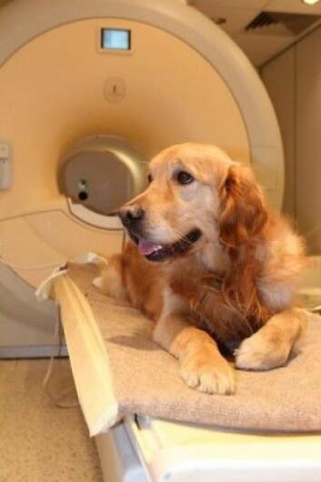 Ved hjelp av MR-skanningene kunne forskerne se at områder i hundenes venstre hjernehalvdel ble aktive når de gjenkjente de rosende ordene, mens de forble inaktive når ordene ikke ga mening – selv om de ble sagt på en rosende måte. (Foto: Borbála Ferenczy)