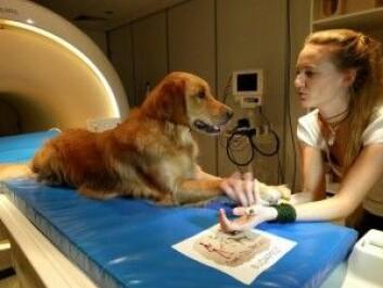 Forskerne brukte en MR-skanner til å undersøke hva som skjedde i hundenes hjerner når eierne snakket til dem på ulike måter. (Foto: Vilja og Vanda Molnar)