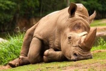 Alle pattedyr kan i prinsippet snorke, og et neshorn i København Zoo hadde faktisk for vane å gjøre det selv når den ikke sov. (Foto: Tacio Philip Sansonovski / Shutterstock / NTB scanpix)