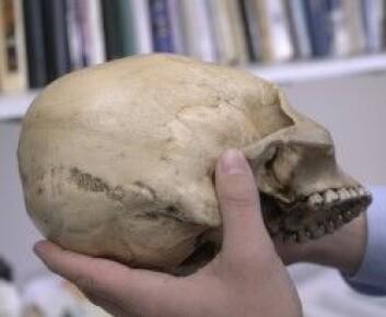 """En modell av en hodeskalle som er formet for å bli avlang, ikke ulik den formen som etter hvert tok overhånd i Colca-dalen i Peru. Originalen er riktignok ikke fra gravene i Peru, men funnet i Bolivia. (Foto: Dan Chamberlain, College of Arts <span class=""""amp"""">&amp;</span> Sciences, Cornell University)"""