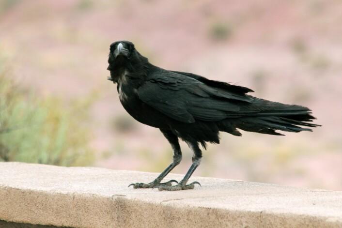 "Kaktusravn (<em>Corvus cryptoleucus</em>) i Arizona. På engelsk heter den<em> Chihuahuan Raven</em>. (Foto: Quinn Dombrowski, Wikimedia Commons <a href=""https://creativecommons.org/licenses/by-sa/2.0/deed.en"">CC BY-SA 2.0</a>)"