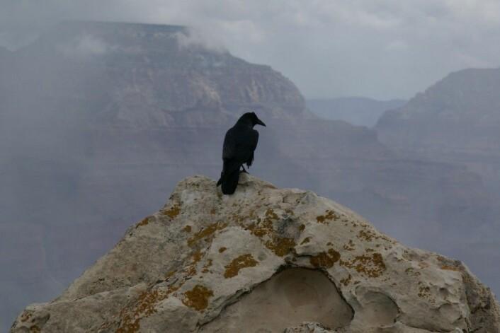 """En ravn (<em>Corvus corax</em>) skuer ut over Grand Canyon. I genene sine har den kanskje rester av en gammel art. (Foto: Hermann Luyken, Wikimedia Commons <a href=""""https://creativecommons.org/publicdomain/zero/1.0/deed.en"""">CC0 1.0</a>)"""