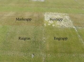 Testing av ulike gressarter for bruk på greenen på golfbaner. (Foto: Trygve S. Aamlid)