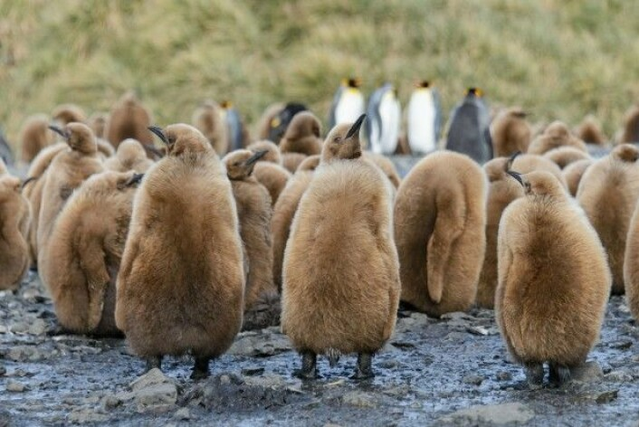 Før eller senere vil de voksne kongepingvinenes ekspedisjoner for å finne mat blir så lange at ungene sulter i hjel mens de venter, frykter professor Nils Chr. Stenseth. (Illustrasjonsfoto: Colourbox)