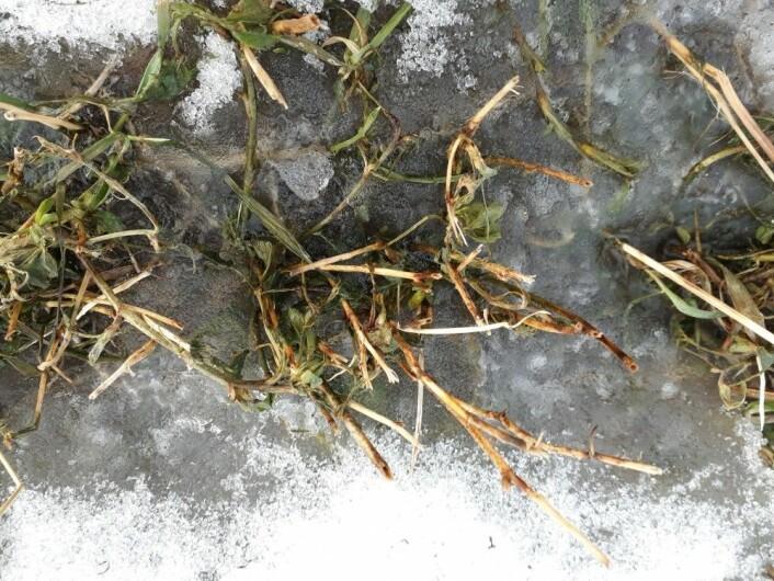 Etter en mildere periode har mye av snøen smeltet på jordene. Når det så fryser til får plantene mye lys, men lite luft. Sollyset lurer dem ut av vinterdvalen, men om plantene ikke får nok luft, vil de bli kvalt. (Foto: Ievina Sturite)