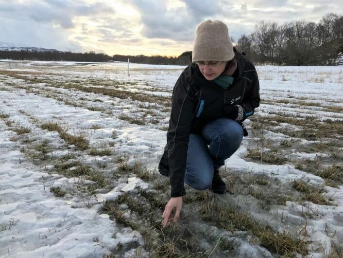Forsker Ievina Sturiteved Norsk institutt for bioøkonomi (NIBIO) er bekymret for hvordan plantene i forsøksfeltet hennes på Tjøtta vil klare seg gjennom vinteren. (Foto: Liv Jorunn Hind)