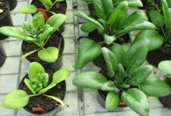 Pottejordblandinger med for høy andel kompost kan gi alvorlig grad av misvekst: Spinatplantene til venstre vokser i en jordblanding med for mye kompost, plantene til høyre vokser i en jordblanding med optimal kompostinnblanding. (Foto: Trond Knapp Haraldsen)