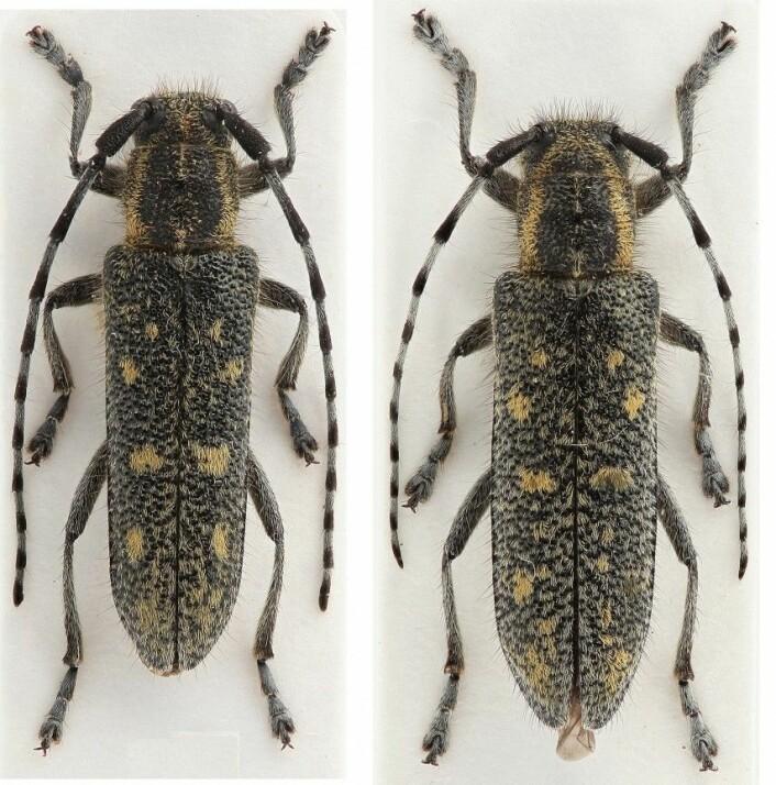 Her er to lappvierbukker funnet i Ljørdalen i Trysil. Hannen til høyre og hunnen til venstre. (Foto: Henrik Wallin)