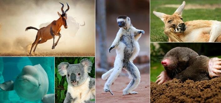 Til nå vet vi om rundt 6500 arter pattedyr. Det finnes til sammenligning flere millioner arter insekter. Men pattedyrene varierer til gjengjeld enormt i størrelse, utseende og levevis. (Bilde fra Mammal Diversity Database, Creative Commons Attribution 4.0)