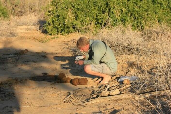 Louis Hunninck, stipendiat ved NTNU, samler inn prøver av elefantmøkk for analyse. Metoden har, i motsetning til tradisjonelle blodprøver, svært liten innvirkning på dyrene. (Foto: Iris Hagvåg Ringstad, NTNU)