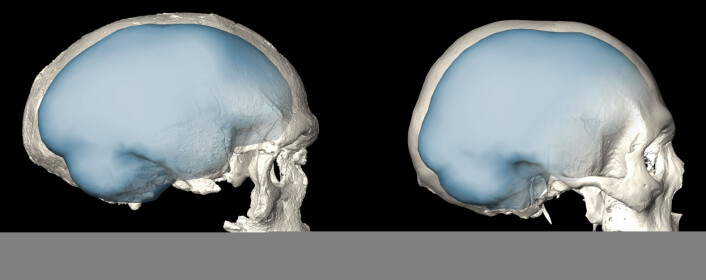 Det samme bildet som i toppen, som viser tydelig hvordan volumet inne i skallen er forskjellig. Hjernestørrelsen er basert på antagelser om hvordan dette hulrommet ser ut. (Bilde: Simon Neubauer, Philipp Gunz, MPI EVA Leipzig / CC-BY-SA 4.0)