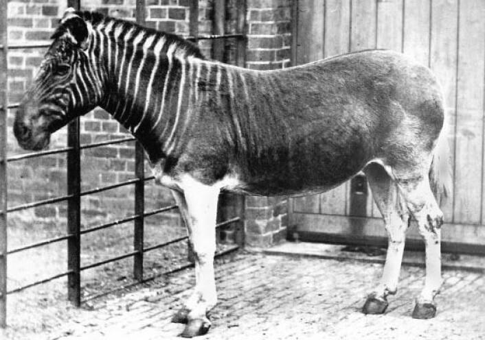 En kvagga i London Zoo. De er antakelig borte for alltid. (Foto: Frederick York, Wikimedia)