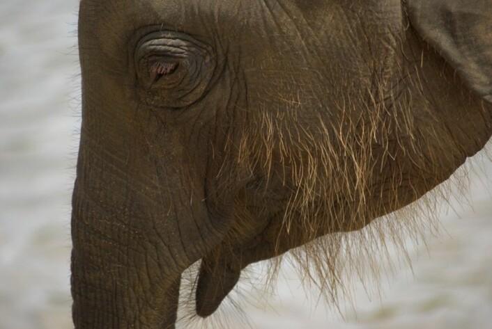En hårete elefantunge. Er en variant av dette det beste vi kan håpe på? (Foto: Colourbox)