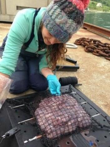 Kathy Dunlopp fra Akvaplan-niva har her klargjort agnet, maneter, på plata som skal senkes i sjøen. (Foto: Daniel Jones, National Oceanography Centre, Southampton)