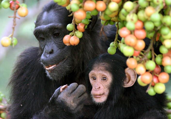 Sjimpanser er også sosiale dyr, men i mye mindre skala enn oss. De lever i flokker på mellom 15-150 individer. Dette bildet er fra Uganda. (Foto: Alain Houle (Harvard University)/CC-BY 4.0)