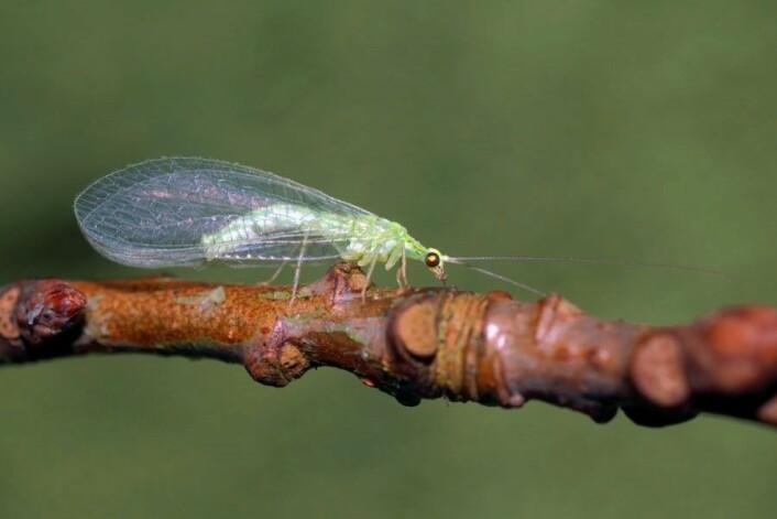 Tevgulløye Cunctochrysa albolineata. (Foto: Ole Fogh Nielsen, Lisens CC BY 4.0)