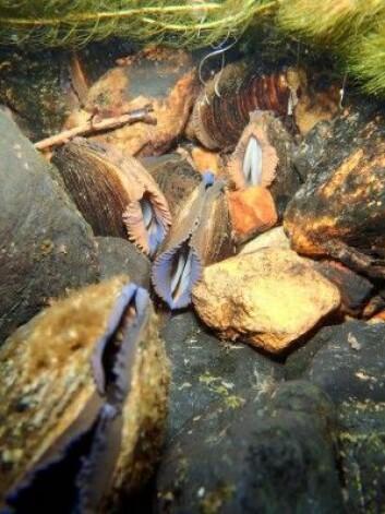 Ser du disse liggende i elva, må du la dem ligge. De er nemlig en truet art. (Foto: Paul Eric Aspholm, NIBIO)