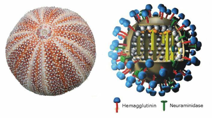 Til venstre: Kråkebolle. Til høyre: Influensavirus. Proteinkappen er brun. Hemagglutinin i blått, neuraminidase i grønt. Si at det ligner litt på en kråkebolle, da. Bittelitte grann? (Bilder: Kråkebolla – Nina Aldin Thune, CC-BY-SA 2.5 Generic. Virusfigur – M. Eickmann, begge bearbeidet av forskning.no.)