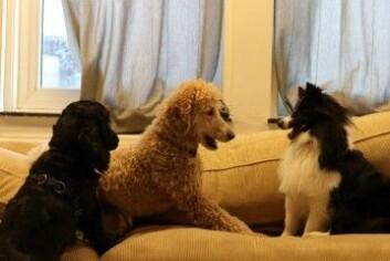 To av hundene tar seg et avbrekk på sofaen [Foto: Elise Kjørstad]