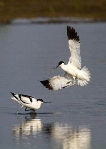 Vadefuglen avosett er foreløpig trygg. Den blir ikke regnet som truet. (Foto: Szabolcs Nagy, Wetlands International)