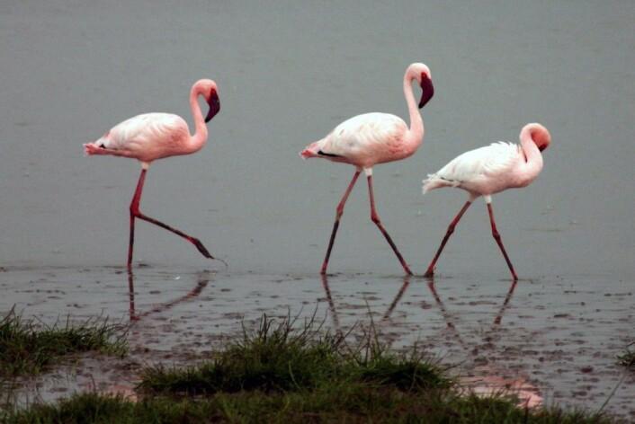 Flamingoene i Afrika har blitt færre de siste tiårene. Dvergflamingoen er nær truet. (Foto: Charles J. Sharp, under lisens CC 2.5)
